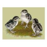 Chukar Partridge Chicks Post Cards