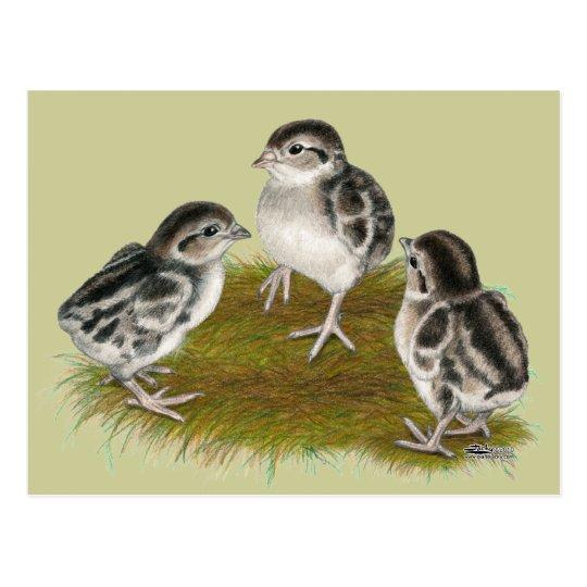 Chukar Partridge Chicks Postcard