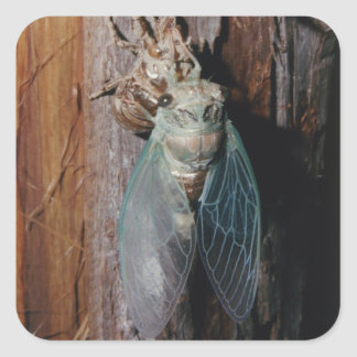 Cicada dries his wings square sticker