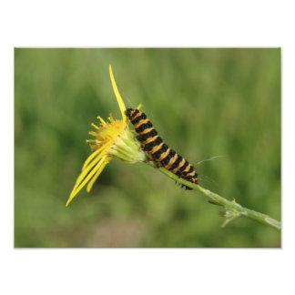 Cinnabar Moth Caterpillar On Ragwort Art Photo