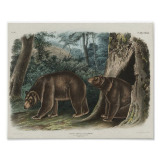 Cinnamon Bear by John James Audubon Poster