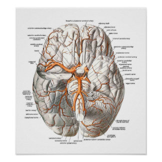 Circulation of the Brain Poster