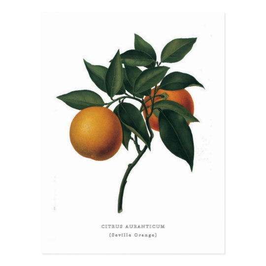 Citrus auranticum 'Seville Orange' Postcard