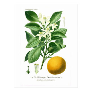 Citrus auranticum (Seville orange) Postcard