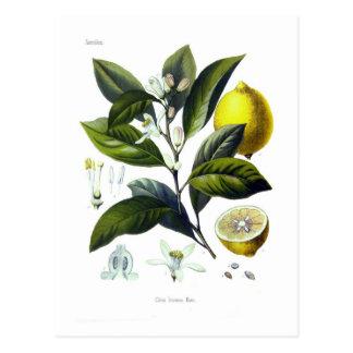 Citrus limonum (Lemon) Postcard
