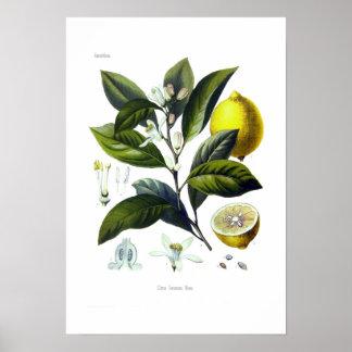 Citrus limonum (Lemon) Poster