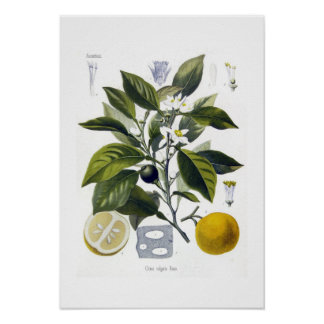Citrus vulgaris Orange Print