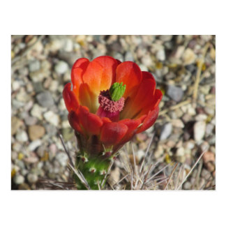 Claret Cup Hedgehog Cactus Bloom Postcard