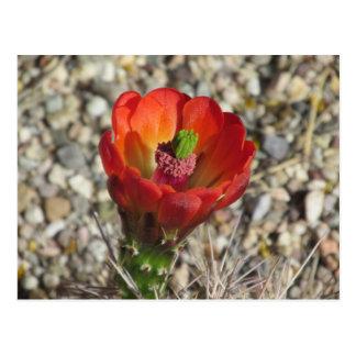 Claret Cup Hedgehog Cactus Bloom Postcard