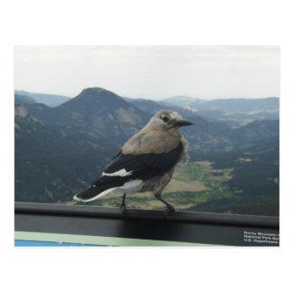 Clark's Nutcracker Postcard