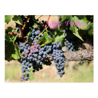 Classic Napa Valley California vineyard Postcard