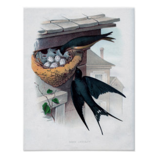Classic Zoological Etching - Barn Swallow Poster