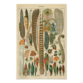 Classic Zoological Etching - Birds & Plumage Poster