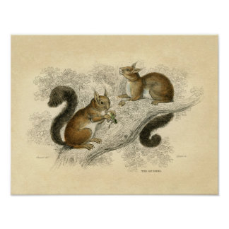 Classic Zoological Etching - Squirrels Poster