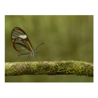 Clear-winged Butterfly Hyalurga sp ?) Cloud Postcard