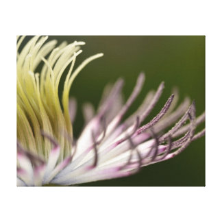 Clematis Stretched Canvas Prints