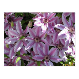 Clematis Flowers Postcard