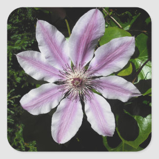 Clematis Nellie Moser Square Sticker