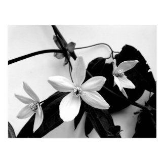 Clematis on the Vine in Monochrome Postcard