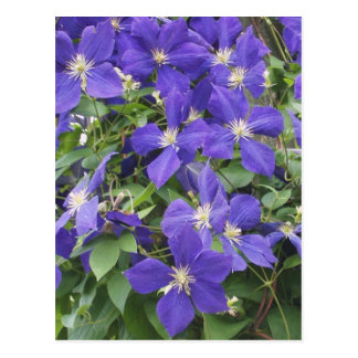 clematis post card