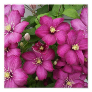 Clematis Posters