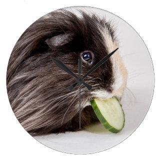 Clock cute guinea pig eating cucumber