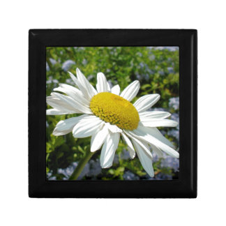 Close Up Common White Daisy With Garden Gift Box