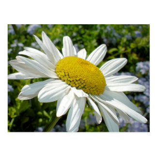 Close Up Common White Daisy With Garden Postcard