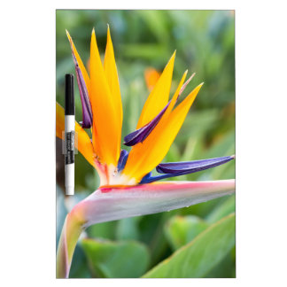 Close up Crane flower or Strelitzia reginaei Dry Erase Board