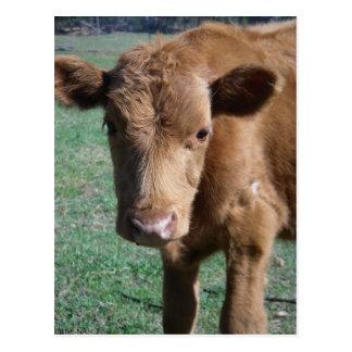 Close-up Cute Calf Postcard