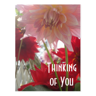 Close Up Dahlia Flowers in Pink and Red Postcard