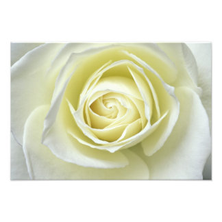 Close up details of white rose photograph
