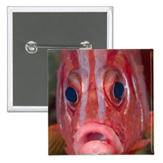 Close-up frontal view of colorful squirrelfish 2 inch square button