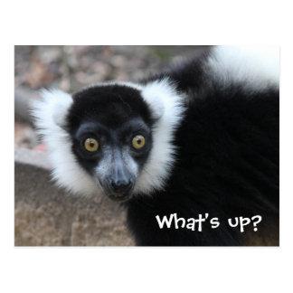 Close up of a Black and White Ruffed Lemur Postcard