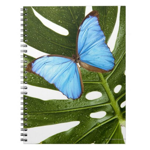 Close up of a Blue Morpho Butterfly on a palm Note Book