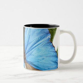 Close up of a Blue Morpho Butterfly on a palm Two-Tone Coffee Mug