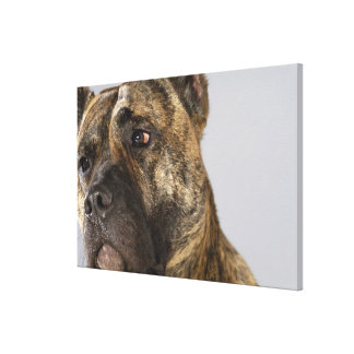 Close-up of a Boxer Canvas Print