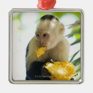 Close-up of a capuchin monkey eating a fruit metal ornament
