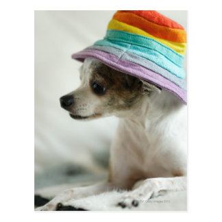 Close-up of a Chihuahua wearing a hat Postcard