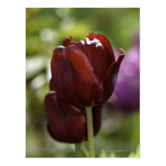 Close up of a double red tulip in a spring postcard