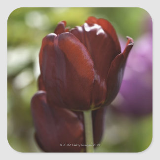 Close up of a double red tulip in a spring square sticker
