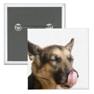 Close-up of a German Shepherd licking its nose Pin