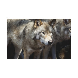 Close-up of a grey wolf canvas print