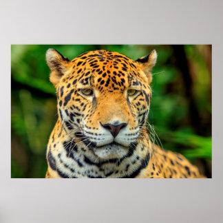 Close-up of a jaguar face, Belize Poster