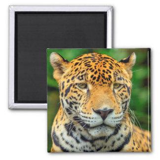 Close-up of a jaguar face, Belize Square Magnet