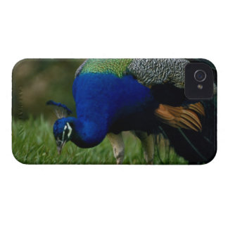 Close-up of a peacock Case-Mate iPhone 4 case