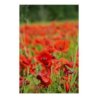 Close-up of a Poppy field, France Poster