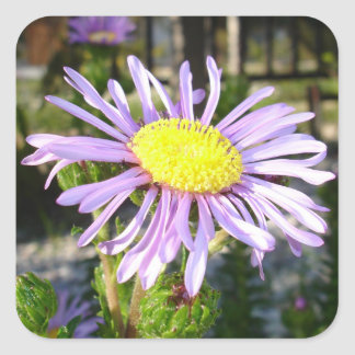 Close Up of A Violet Aster Flower Spring Bloom Square Sticker