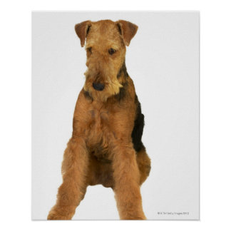 Close up of an airedale terrier poster