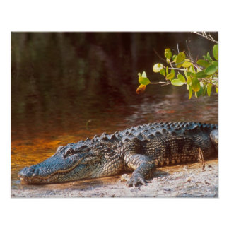 Close up of an american alligator at the J.N. Poster